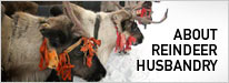 About Reindeer Husbandry